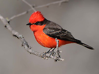 Vermillion Flycatcher image from South Llano River State Park, Junction, TX