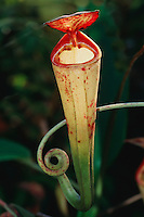 Madagascar pitcher plant (Nepenthes madagascariensis), Madagascar, Africa