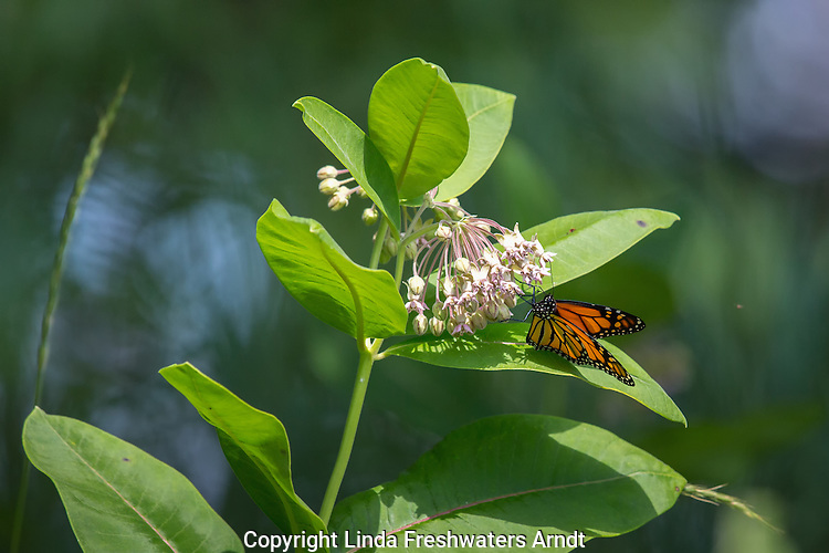 Monarch butterfly on common milkweed in northern Wisconsin