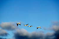 Pelicans in flight at Summer Lake wildlife Refuge, Oregon