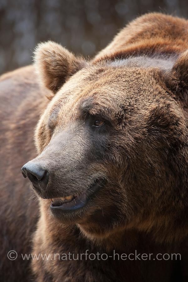 Braunbär, Kodiakbär, Braun-Bär, Kodiak-Bär, Bär, Portrait im Wildpark, gilt als das größte an Land lebende Raubtier der Erde, Ursus arctos middendorffi, Kodiak bear, Kodiak brown bear