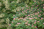 The flowers of a Silk Tree at the Arnold Arboretum, Boston, Massachusetts, USA
