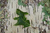 Leaf on Fallen Birch Log, Castine, Maine, US