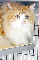 Lynn Atkins/The Weekly Vista<br /> Minnie is about five years old and very friendly.  She is spayed and declawed in front, <br /> Bella Vista Animal Shelter staff said. To adopt any of the dogs or cats at the shelter, visit 32 Bella Vista Way or call 479-855-6020.