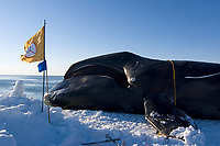 48 foot 8 inch bowhead whale, Balaena mysticetus, caught by the ABC whaling crew in the Chukchi Sea, Arctic Alaska