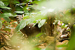 Blue Duiker (Philantomba monticola) in tropical rainforest, Lope National Park, Gabon