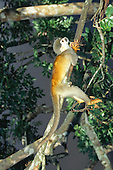 Rio Negro River, Amazonas State, Brazil. Squirrel monkey (Saimiri sp.) resting on a tree.