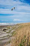 "Gulls soar on high spring winds as grasses bend over dunes along the Long Beach Penninsula, Washington, Loomis Lake State Park.  Long Beach, Washington, ""The World's Longest Beach"". Olympic Peninsula"