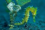 Thorny seahorse, Hippocampus hystrix, Komodo National Park, Komodo Island, Nusa Tenggara, Indonesia, Pacific Ocean
