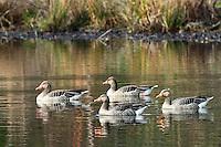 Graugans, Grau-Gans, Gans, Gänse, Anser anser, Greylag Goose, graylag goose, grey lag goose, geese, Oie cendrée