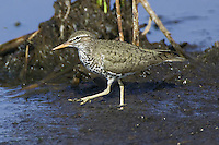 Spotted Sandpiper walking through some mud