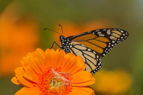 Western Monarch Butterfly (Danaus plexippus) on zinnia flower.  California.