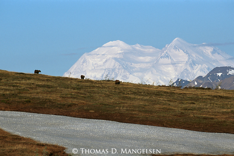 Brown bears walk in front of the mountains in Denali National Park, Alaska