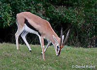 0213-08xx  Thomson's Gazelle, Gazella thomsoni © David Kuhn/Dwight Kuhn Photography