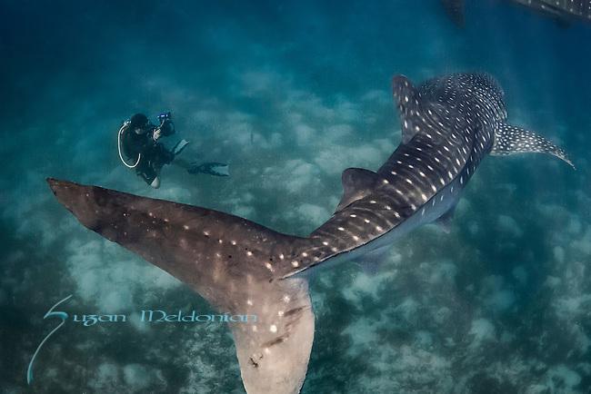 Whale shark and photographer, Oslob, Php
