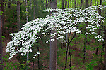Great Smoky Mountains National Park, TN/NC<br /> Flowering dogwood trees (Cornus florida) in spring forest along the Little River Road