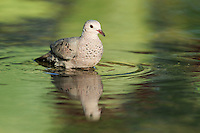 Common Ground-Dove (Columbina passerina), adult bathing, Dinero, Lake Corpus Christi, South Texas, USA