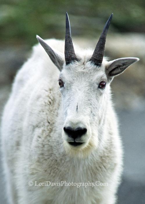 Mt. Goat, front   #G2