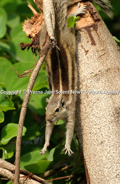 """OH NUTS!! A squirrel sticks its tongue out in reaction to getting its hind legs stuck in a branch during a game of kiss chase.<br /> <br /> Prerna Jain, 59, capture the comical moment in her back garden in New Delhi, India. She said, """"It was early in the morning, this young squirrel was in a playful mood rushing down the tree, chasing another squirrel, kissing it and licking its companion. It suddenly lost control and was left hanging down from the branch by its two hind legs.""""<br /> <br /> """"Her tongue stuck out as she was in a state of shock for a moment. I see squirrels running around in my garden every day but I had never realised they have a tongue as long as this. Soon it regained control and climbed back up the tree to safely.""""<br /> <br /> When I checked the picture on my camera I thought it very funny. I guess it was like, how a human would react in a situation like this.""""<br /> <br /> Please byline: Prerna Jain/Solent News<br /> <br /> © Prerna Jain/Solent News & Photo Agency<br /> UK +44 (0) 2380 458800"""