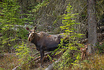 Yellowstone National Park, WY: Cow Moose and calf (Alces alces)