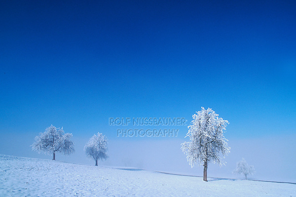 Bare trees with frost in winter, Switzerland