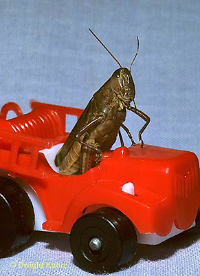 GF04-001c  Funny Grasshopper - driving fire truck