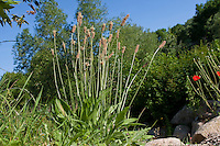 Spitz-Wegerich, Spitz - Wegerich, Spitzwegerich, Plantago lanceolata, English Plantain, Ribwort