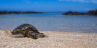 Giant green sea turtle lying on a beach, with the Pacific Ocean and lava rocks in the background, on the Big Island of Hawaii