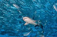 Whitetip reef shark, , Trienodon obesus, swims into schooling jacks, Sipadan, Malaysia