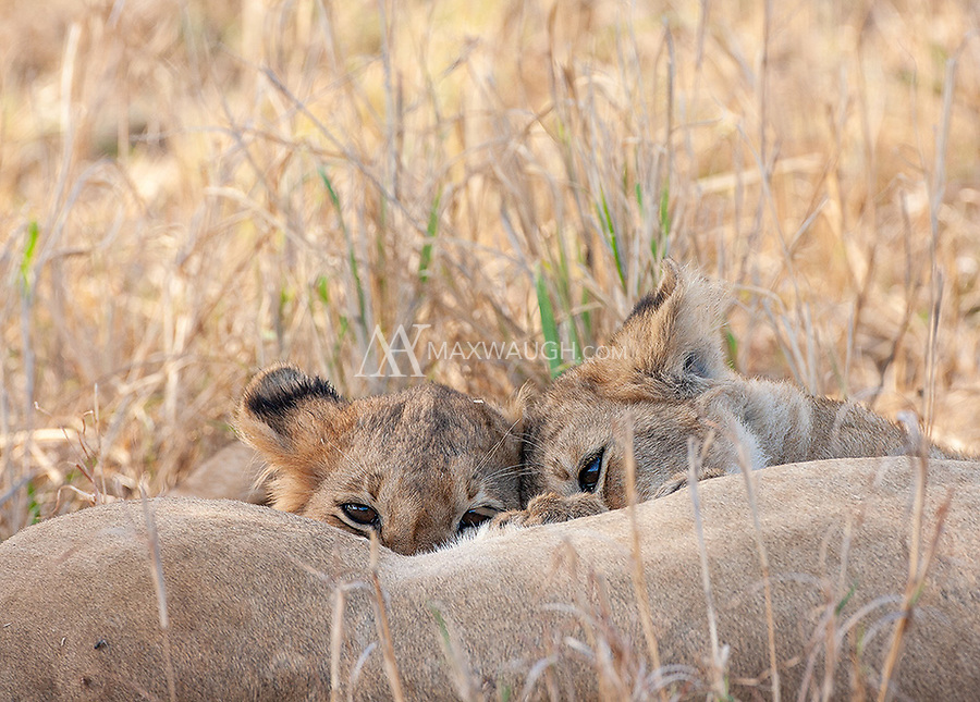 We had several memorable lion encounters on this trip. Our first-ever wild lion caught and killed a wildebeest!