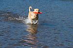 Yellow Labrador retriever (AKC) retrieving an orange dummy
