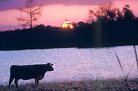 Cow at the shoreline at sunset