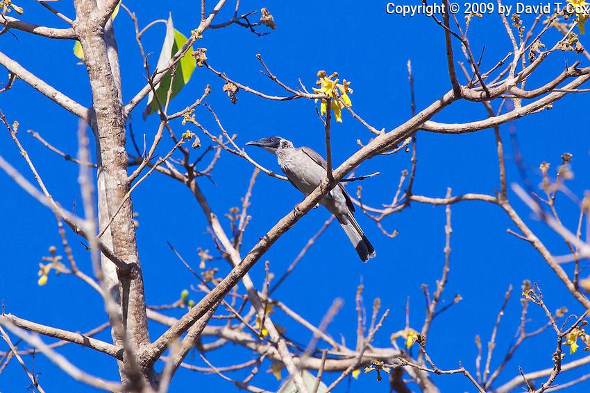Silver-Crowned Friarbird, Darwin, NT, Australia