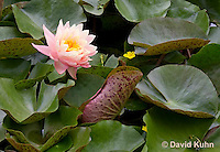 0723-1008  Full Bloom Water Lily - Nymphaea  © David Kuhn/Dwight Kuhn Photography