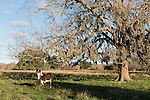 Brazoria County, Damon, Texas; a female donkey, called a Jenny, used in the pastures to protect the cattle from coyote, stands beneath a large, live oak tree in early morning sunlight