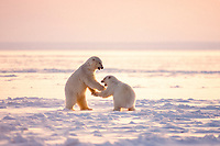 polar bears, Ursus maritimus, two young bears playing on pack ice, 1002 coastal plain of the Arctic National Wildlife Refuge, Alaska, polar bear, Ursus maritimus