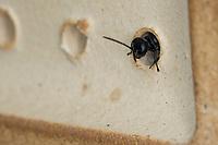 Spinnen-Grabwespe, Spinnengrabwespe, am Nistloch, Nest an einer Wildbienen-Nisthilfe, Töpfer-Grabwespe, Töpfergrabwespe, Töpferwespe, Holzbohrwespe, Grabwespe, Trypoxylon cf. figulus, organ pipe mud dauber, digger wasp, Crabronidae, Grabwespen, digger wasps