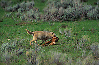 COYOTE hauling elk calf back to den site..Spring. Yellowstone National Park. USA..Rocky Mountains. (Canis latrans).
