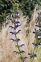 Perennial sage (Salvia 'Madelaine') and Mexican feather grass (Stipa tenuissima). Arthritis Research UK Garden, designed by Thomas Hoblyn, RHS Chelsea Flower Show 2012.