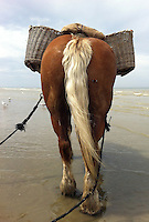 una farfalla si posa sul cavallo  sulla spiaggia  per la pesca ai gamberetti<br /> a butterfly on the horse on the way to the sea