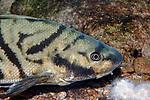 Northern Kingfish close-up facing right