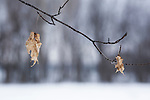 Two maple leaves hang on a tree in the winter on the Mohawk reserve of Kanesatake in Quebec. (Credit: Robert van Waarden - http://alongthepipeline.com)