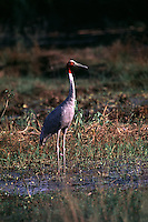 Sarus Crane standsin grassy marsh. Grus antigone. The tallest flying bird. Lumbini Crane Sanctuary. Lumbini, Nepal.