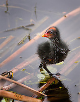 Common Moorhen Chick with cute face still in down feathers, standing in water.