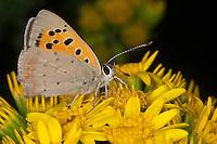 Kleiner Feuerfalter, Blütenbesuch, Nektarsuche, Lycaena phlaeas, Chrysophanus phlaeas, small copper