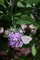 Cabbage white moth butterfly adult on Buddleja Buddleia butterfly bushl flowers, Pieris rapae, imported garden pest