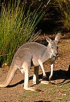 Red Kangaroo at Healesville Zoo in Australia