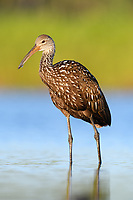 Limpkin (Aramus guarauna). Myakka River State Park, Florida. March.