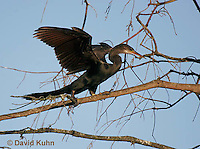 0111-0978  Double-crested Cormorant Spreading Wings in Tree, Phalacrocorax auritus  © David Kuhn/Dwight Kuhn Photography