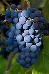Germany, Baden-Wuerttemberg, Markgraefler Land, wine, blue grapes